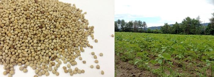 えごま畑と種